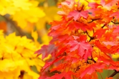 2_red_and_yellow_autumn_leaves_199352